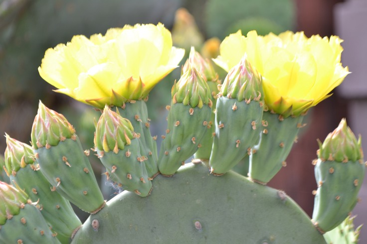 Prickly Pears ~ Autumn's Harvest